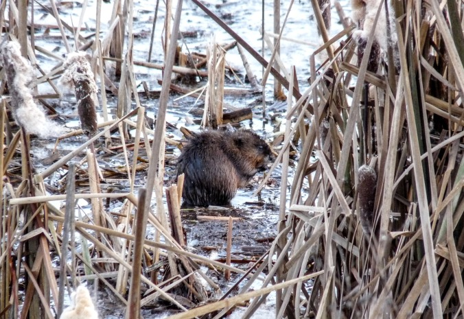 Nutria, photo by Alan
