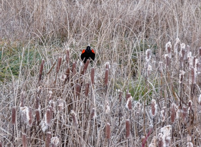 Red-wing Blackbird, photo by Alan
