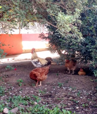 Typical chickens and rooster