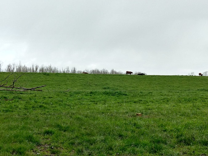 Sauvie Cattle grazing