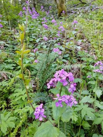 Oregon Geranium? Phlox?