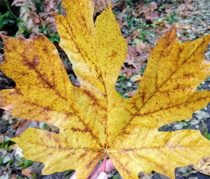 Bigleaf Maple or Acer macrophyllum