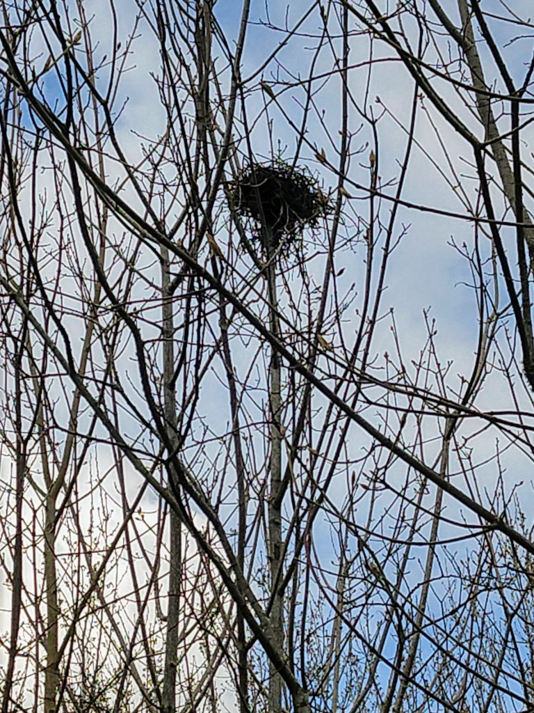 nest in bare branches