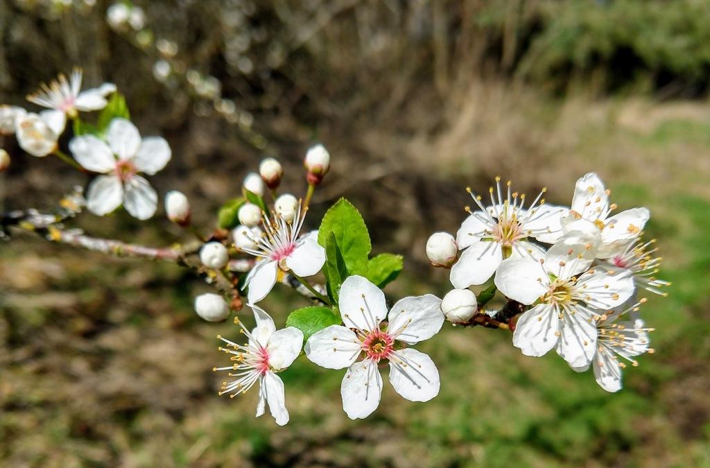 a few white tree blossoms