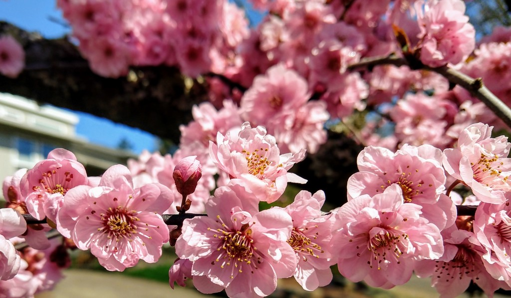 An embarrassment of pink tree blossoms