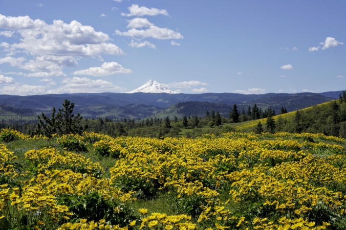 The holy grail: Balsamroot and Mt. Hood. Memaloose, Columbia Gorge, photo by Alan