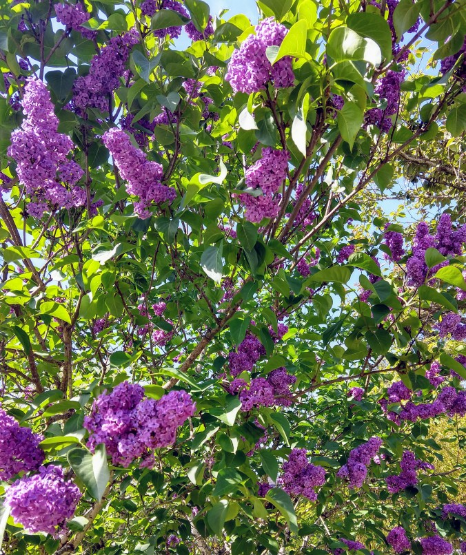 The scent of lilacs in shades of purple pervade the neighborhood