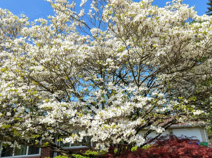 I covet my neighbor's dogwood