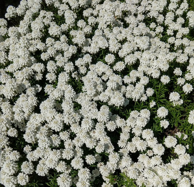 Candytuft (I think) grow crazy in our neighborhood
