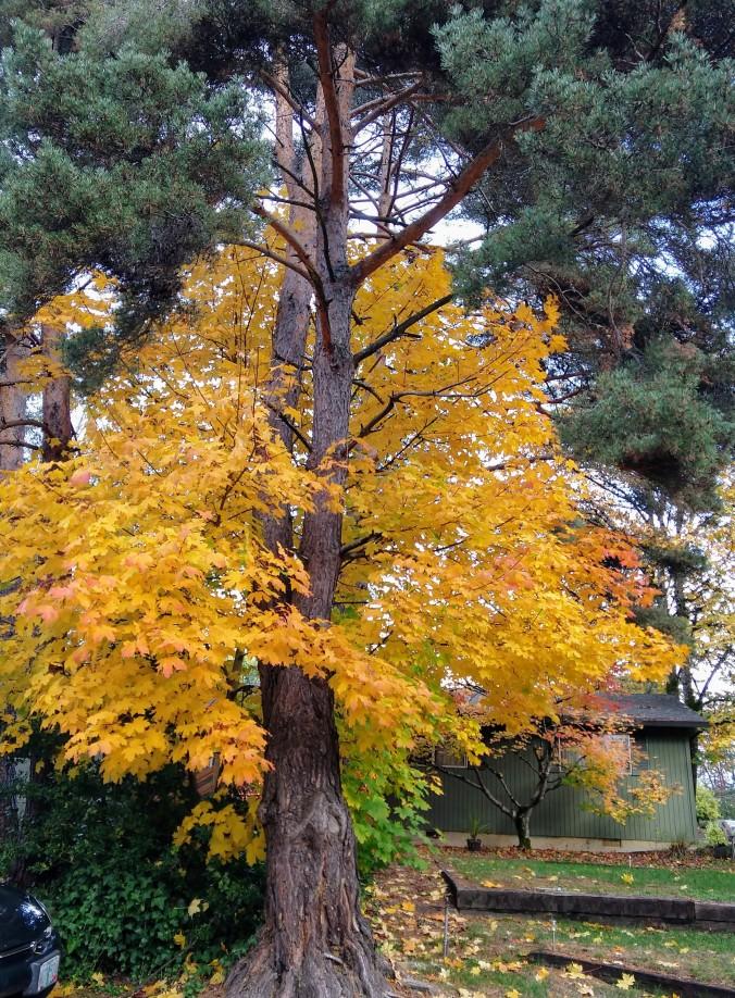 Just another neighborhood tree
