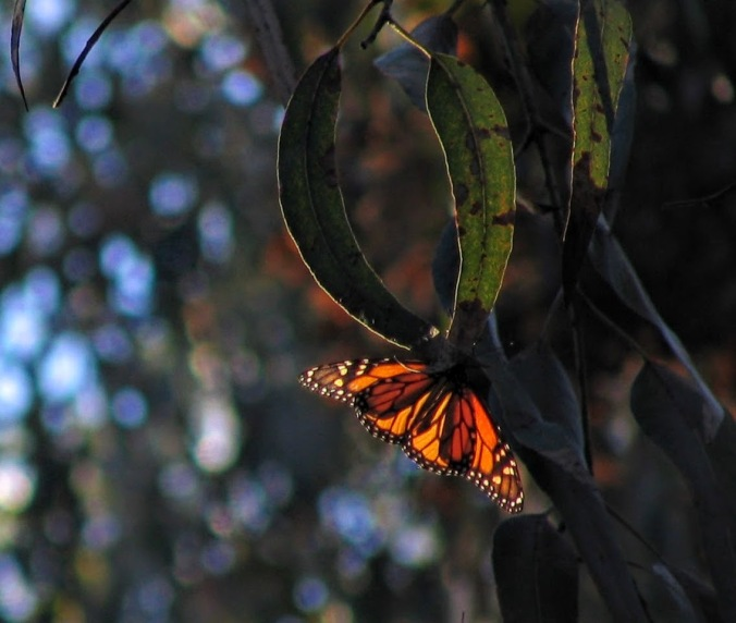 A monarch from another time and place, photo by Alan