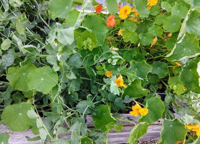 Peas and nasturtiums